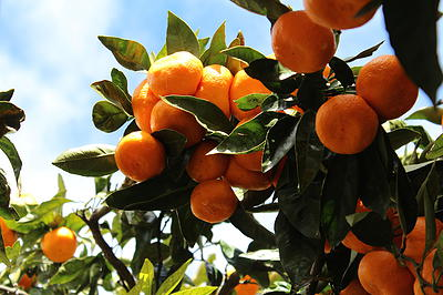 calendula and tangerine lip balm